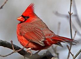 northern_cardinal_glamour