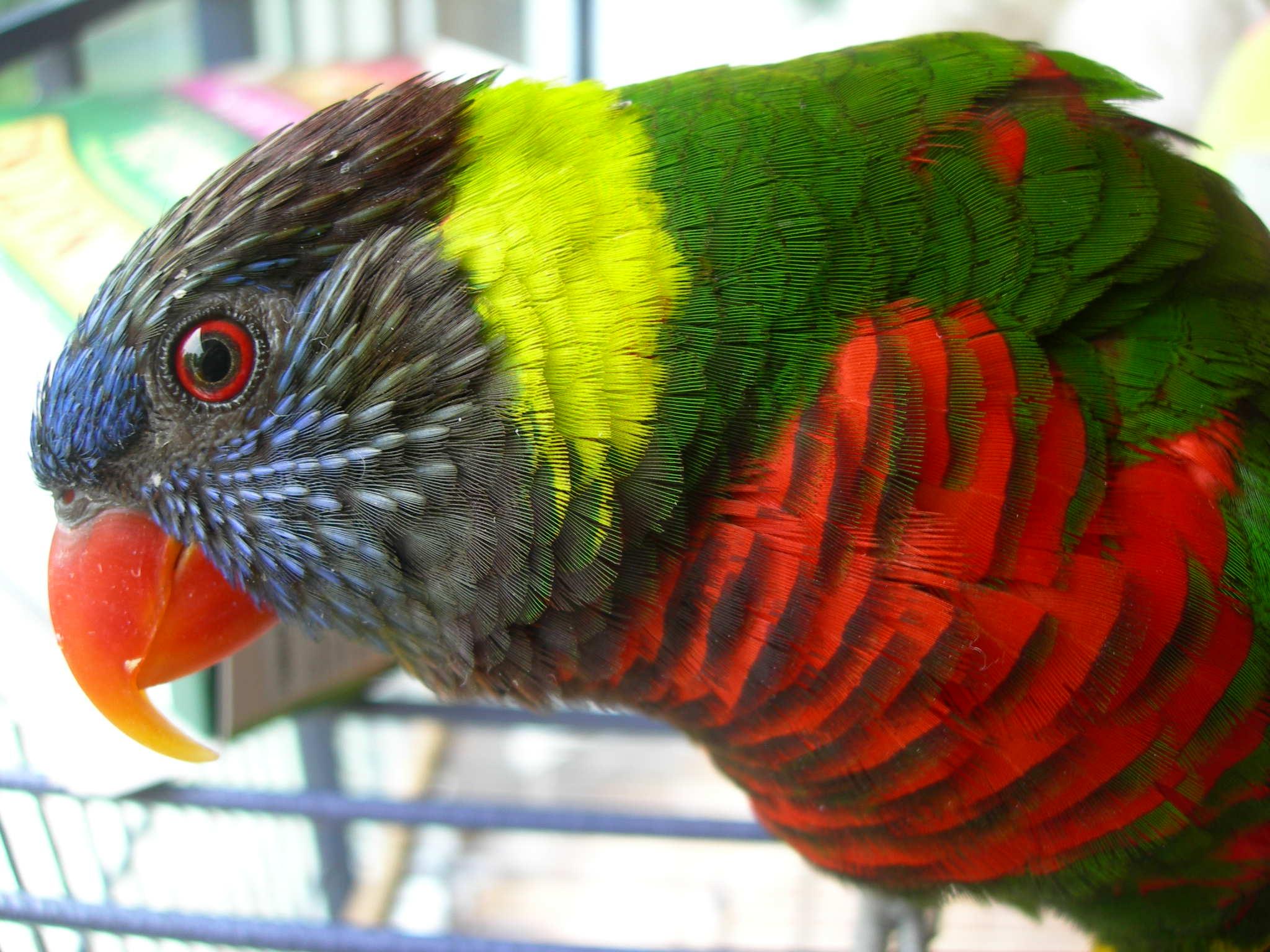 Green Naped Rainbow Lorikeet Claudia Radmore